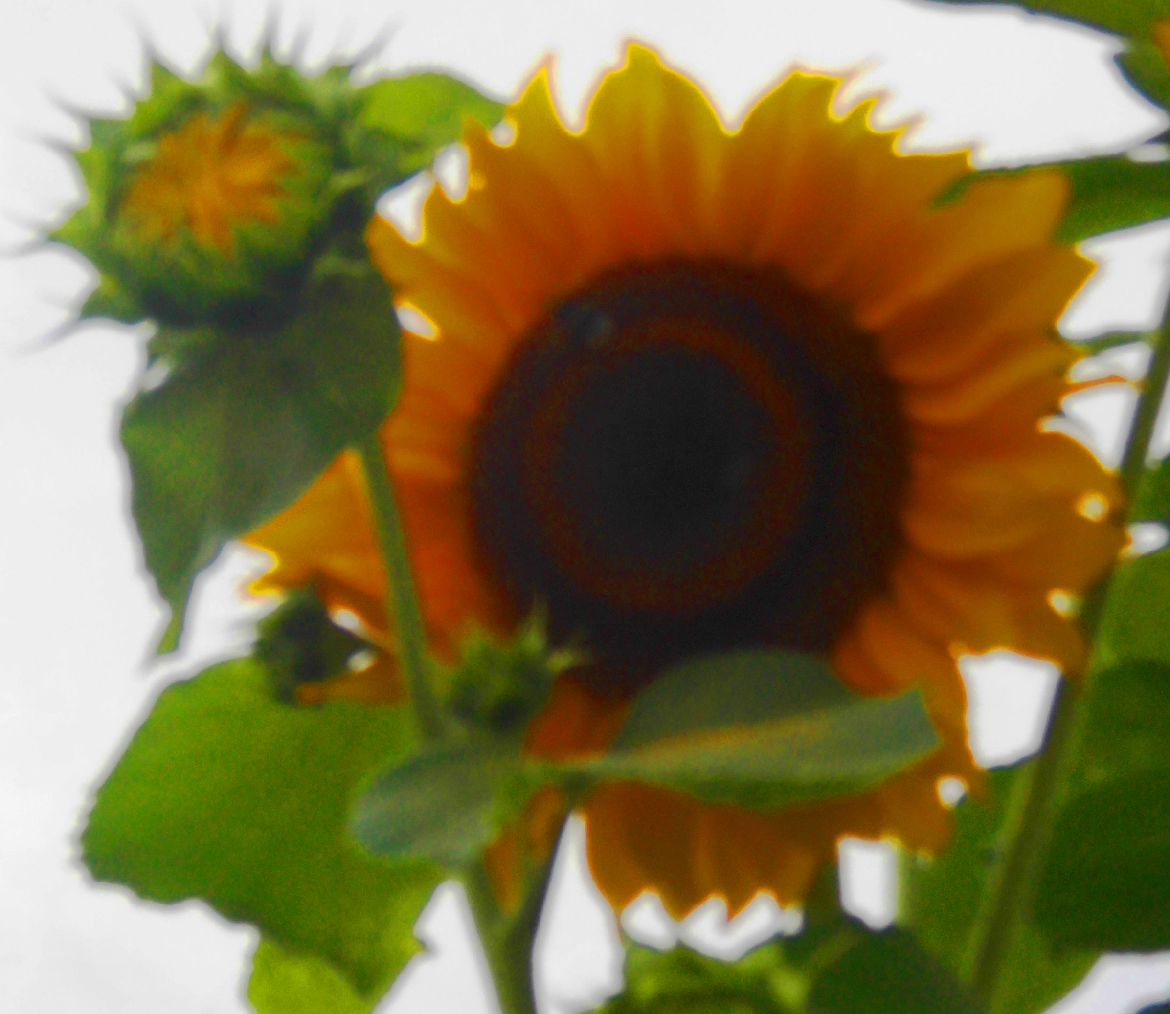 Sonnenblume8