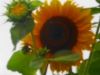 thumbs_Sonnenblume8
